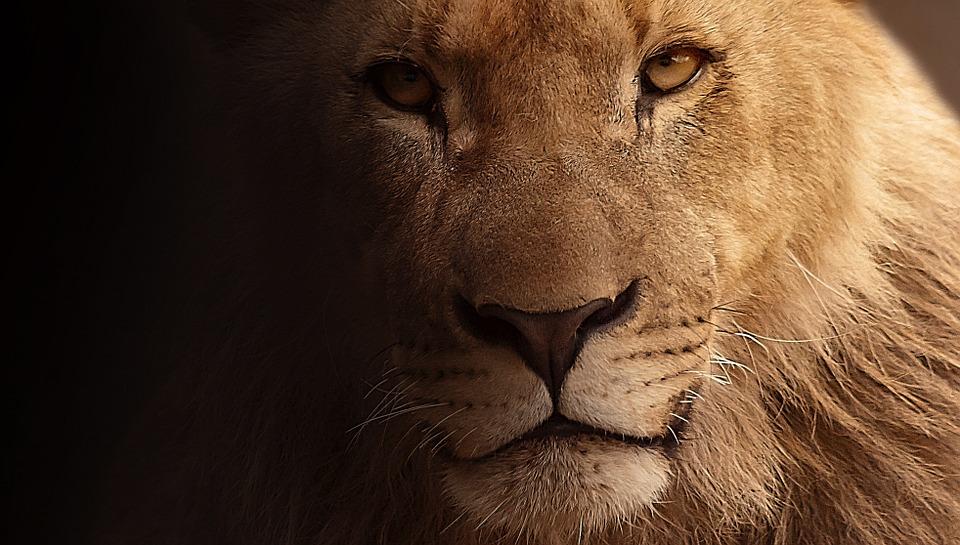 lõvi-pixabay